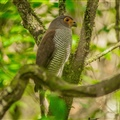 Barred ForestFalcon.jpg