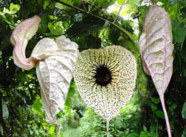 Common Medicinal Plants of Belize